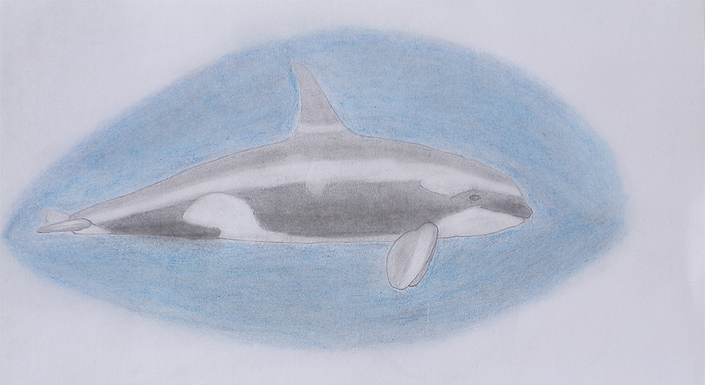 Pencil drawn orca