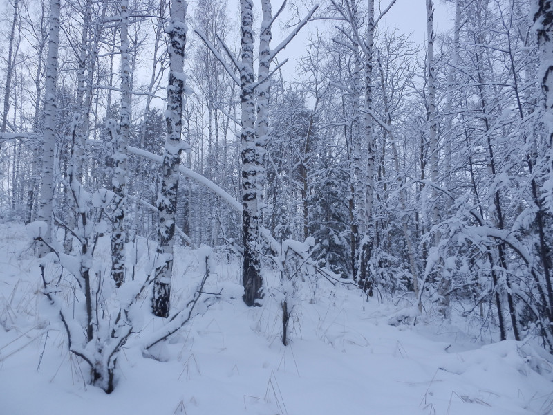 Birch forest on the peak of mountain