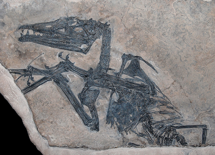 Eudimorphodon skeleton